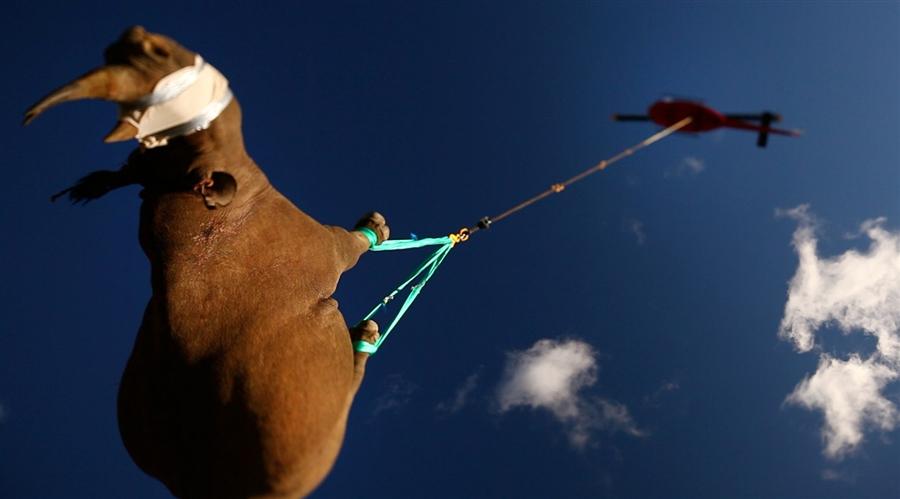 3140 Как перевезти носорога? На вертолете вверх тормашками!