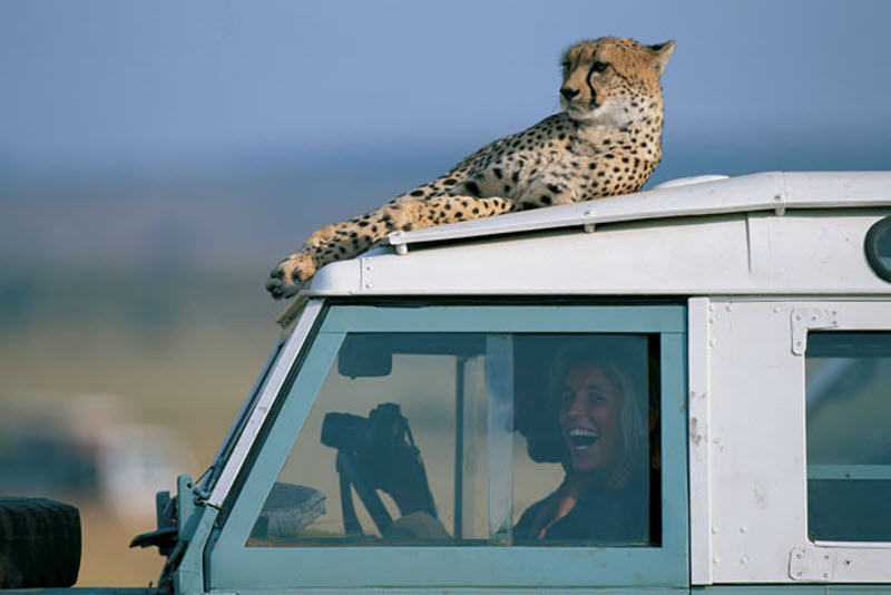 3292 Гепарды в заповеднике Масаи Мара