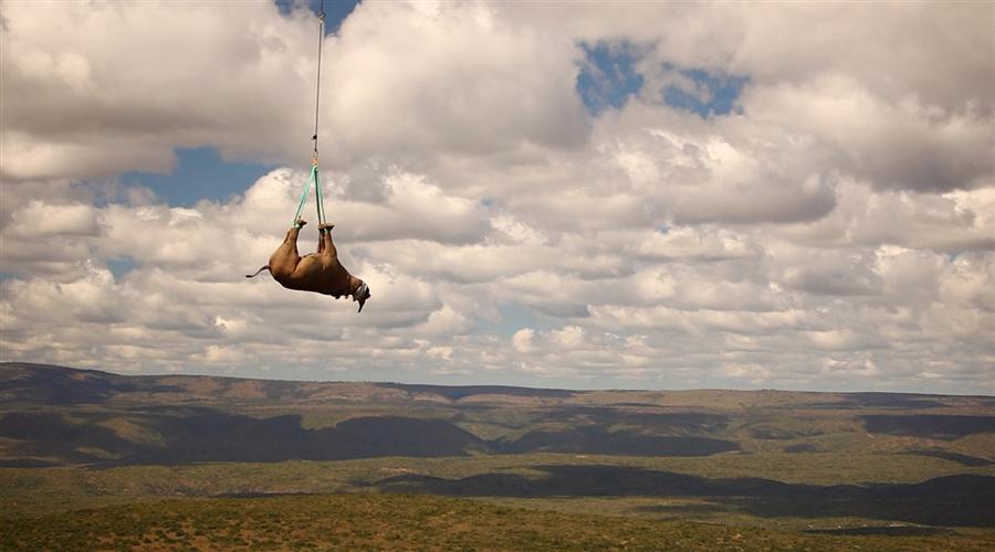 4101 Как перевезти носорога? На вертолете вверх тормашками!
