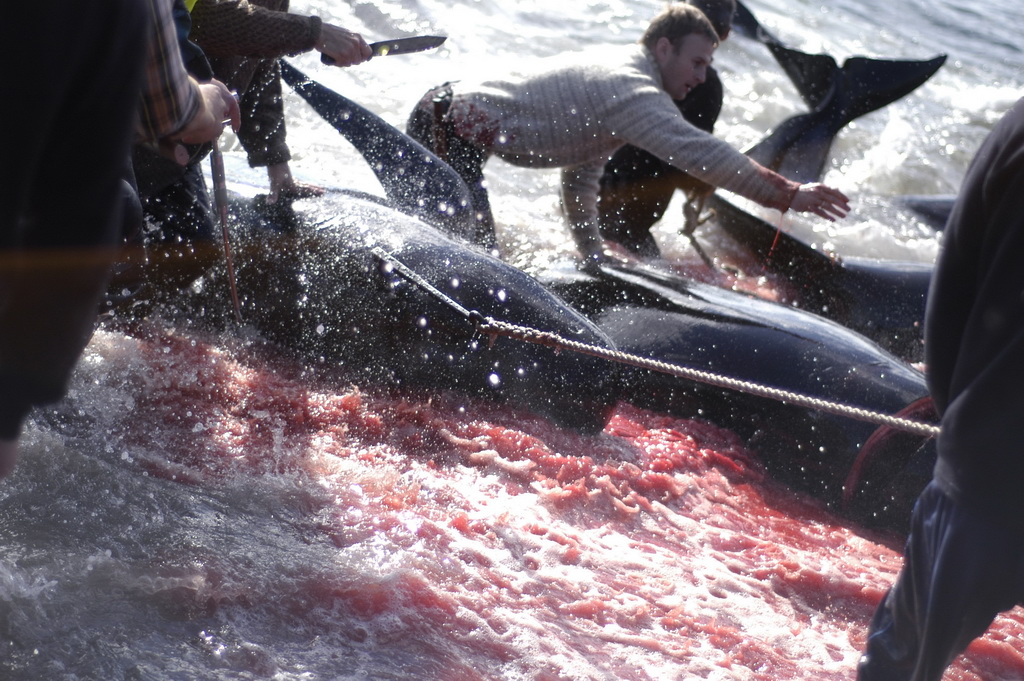 4251 Море крови на Фарерских островах