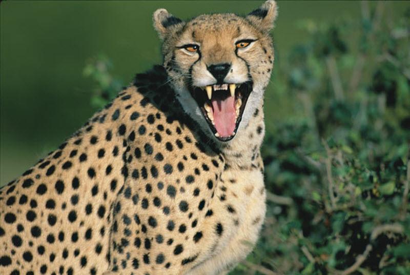 5200 Гепарды в заповеднике Масаи Мара