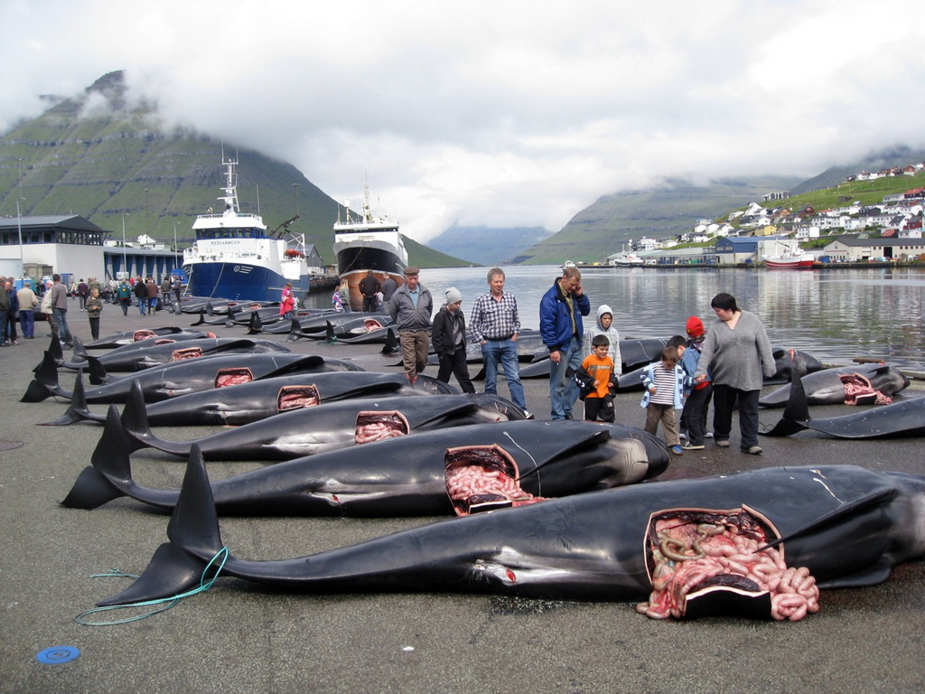 5204 Море крови на Фарерских островах