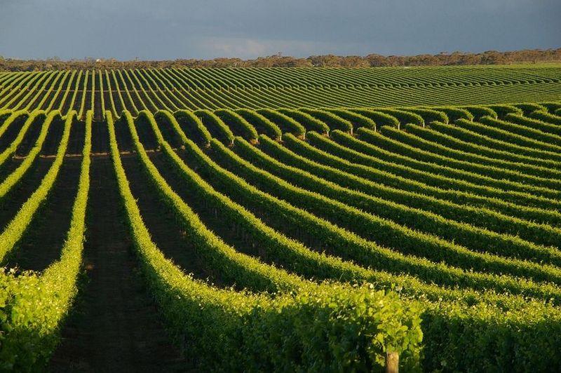 5221 Виноградники в фотографиях