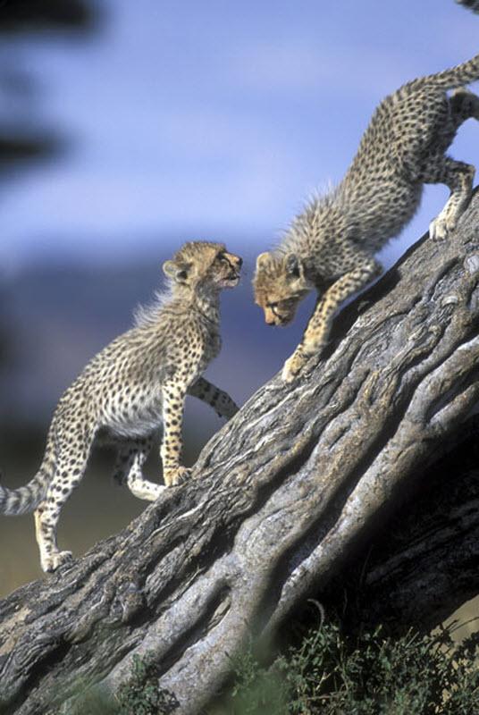 7187 Гепарды в заповеднике Масаи Мара