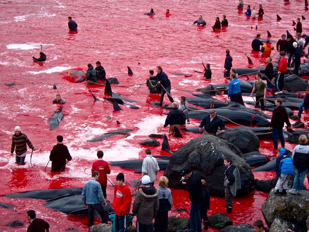 7191 Море крови на Фарерских островах