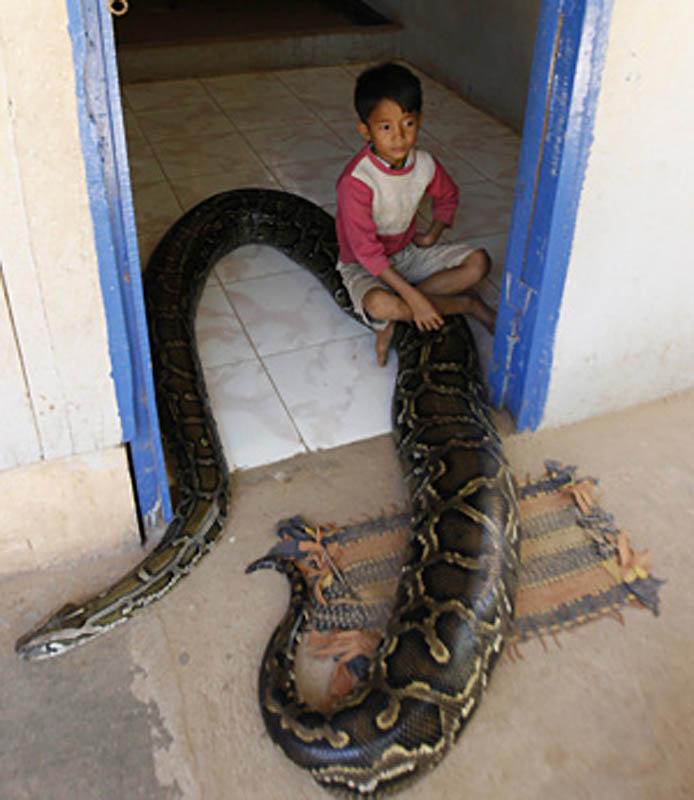 8156 Rumah python