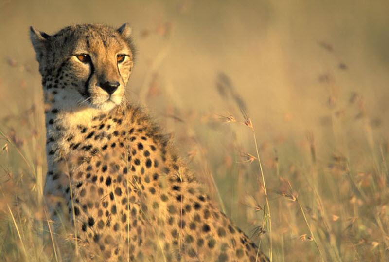 Гепарды в заповеднике Масаи-Мара
