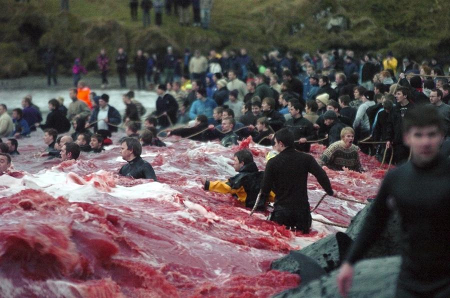 8178 Море крови на Фарерских островах