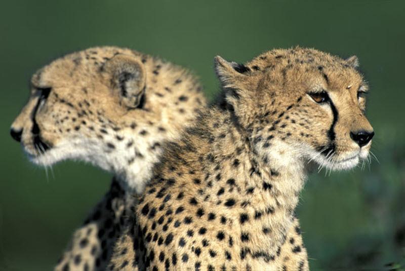 9157 Гепарды в заповеднике Масаи Мара