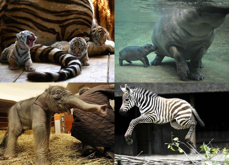 BIGPIC24 Детеныши животных (Часть 1)