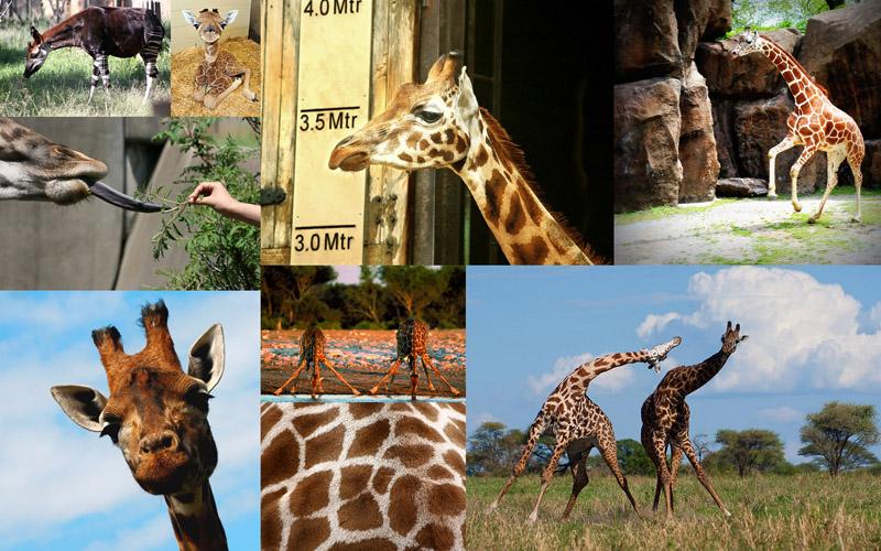 BIGPIC26 10 фактов о жирафах