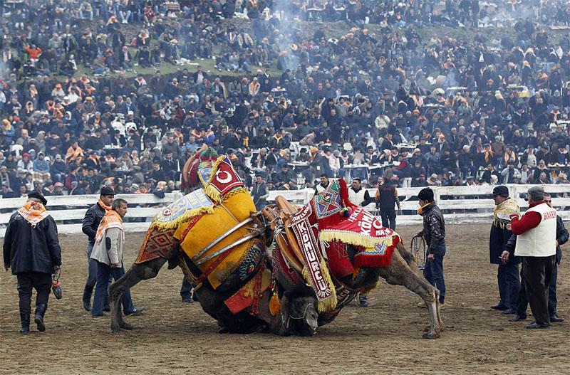 BIGPIC92 Необычное зрелище: Верблюжьи бои в Турции