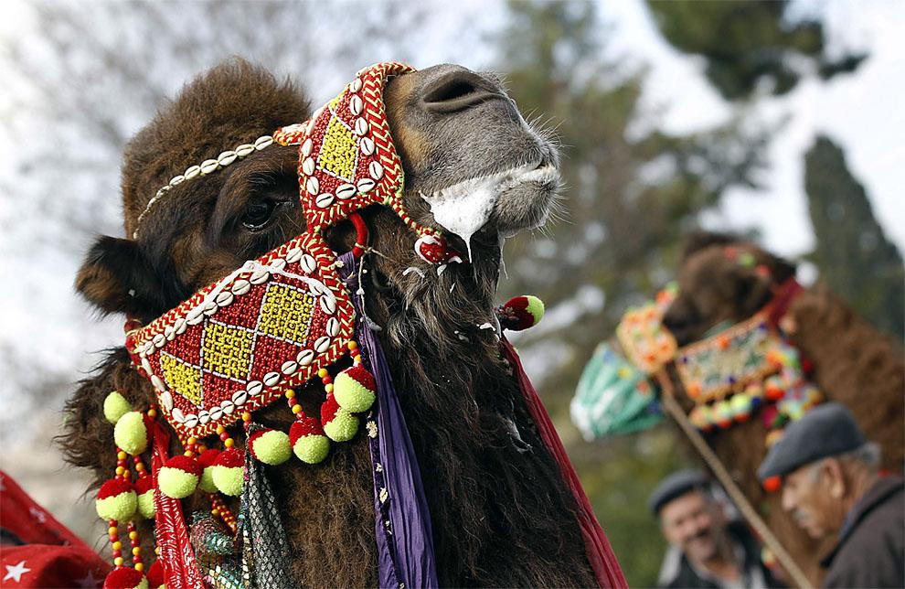 camels w Необычное зрелище: Верблюжьи бои в Турции
