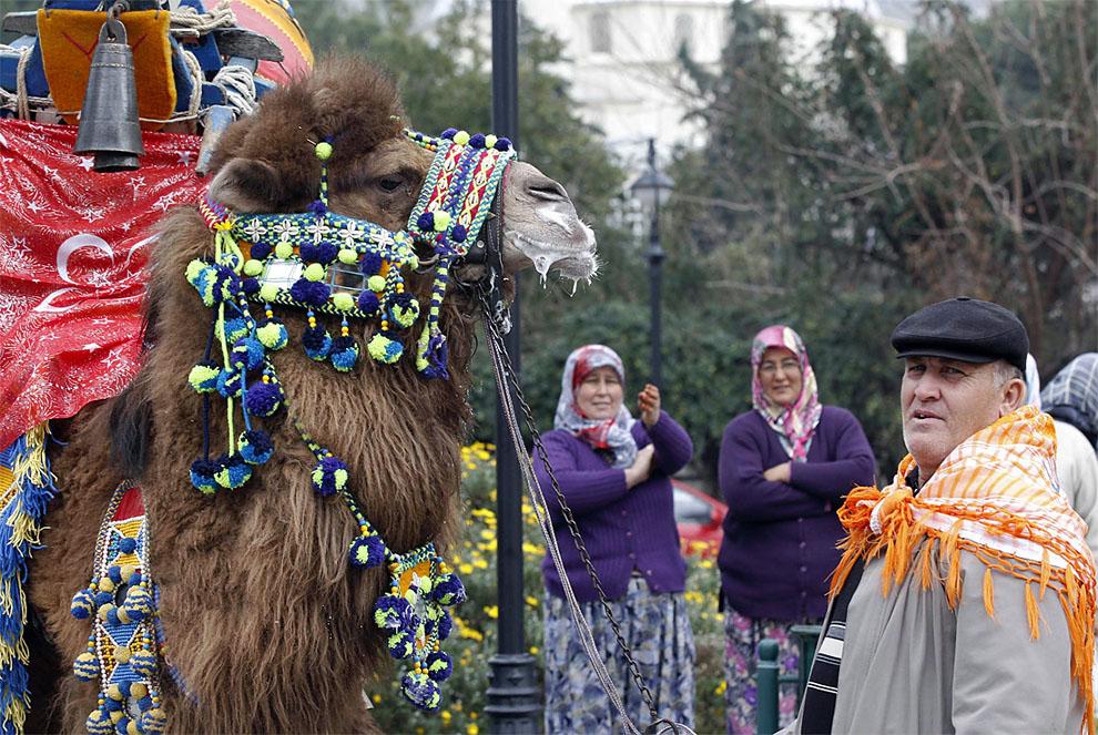 camels x Необычное зрелище: Верблюжьи бои в Турции
