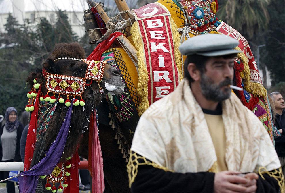 camels y Необычное зрелище: Верблюжьи бои в Турции