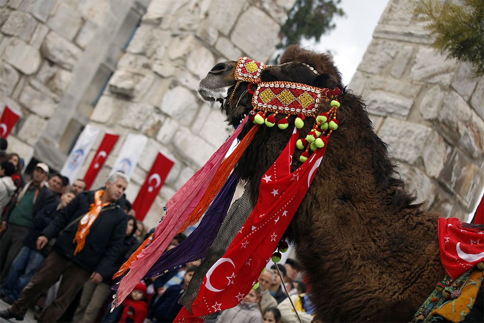 camels z Необычное зрелище: Верблюжьи бои в Турции