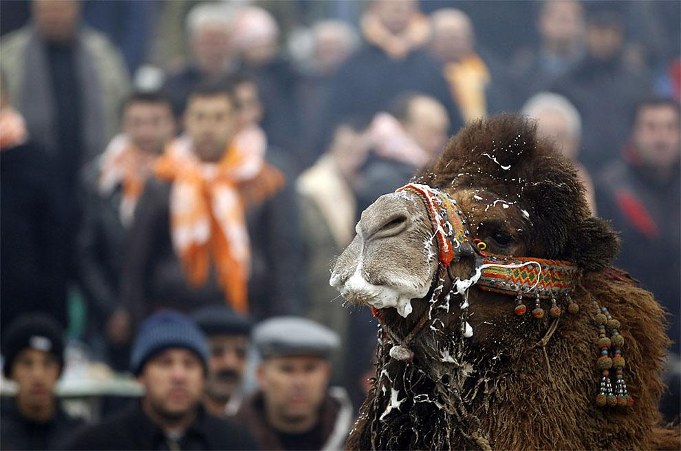 camels00 Необычное зрелище: Верблюжьи бои в Турции