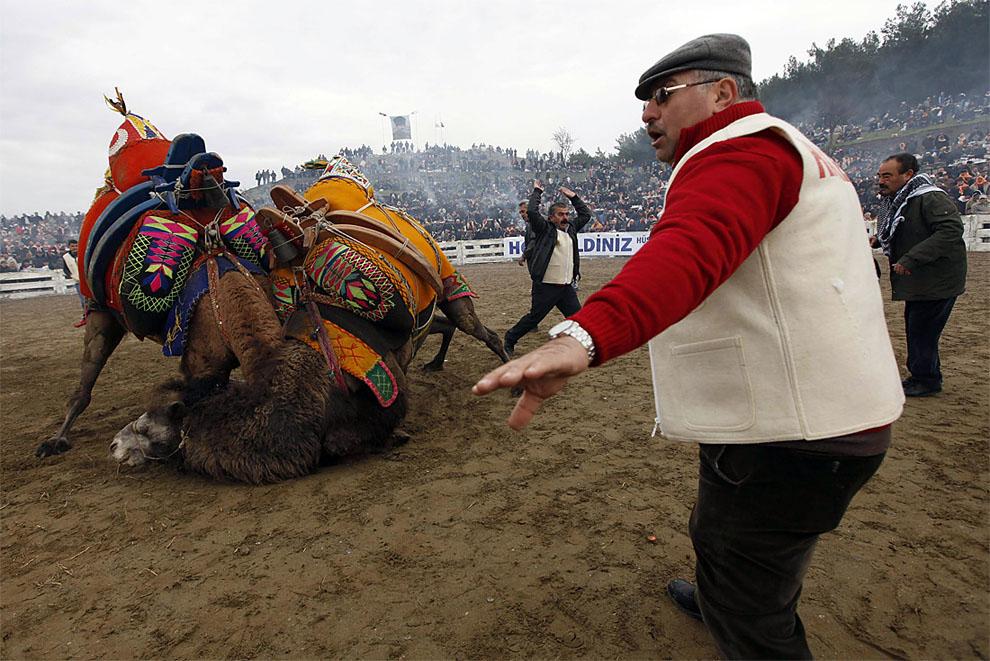 camels01 Необычное зрелище: Верблюжьи бои в Турции