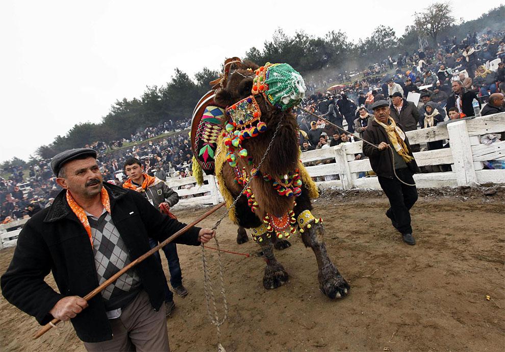 camels02 Необычное зрелище: Верблюжьи бои в Турции