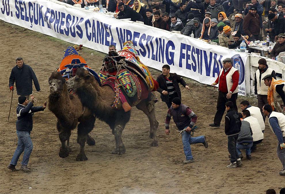 camels03 Необычное зрелище: Верблюжьи бои в Турции