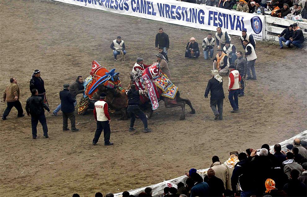 camels04 Необычное зрелище: Верблюжьи бои в Турции