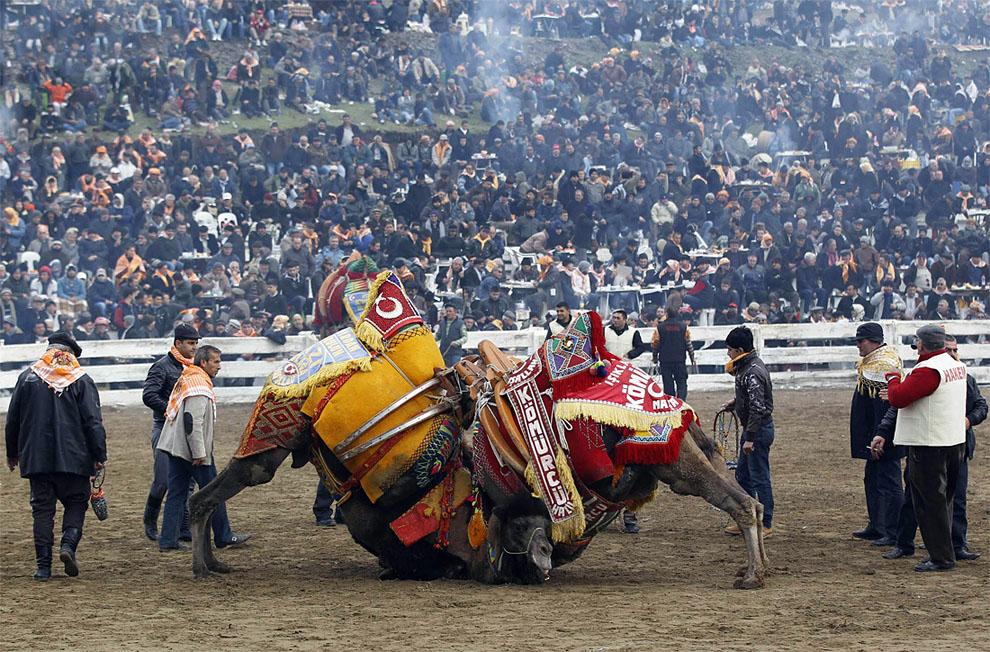 camels05 Необычное зрелище: Верблюжьи бои в Турции