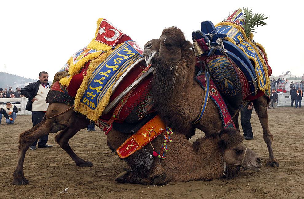 camels06 Необычное зрелище: Верблюжьи бои в Турции