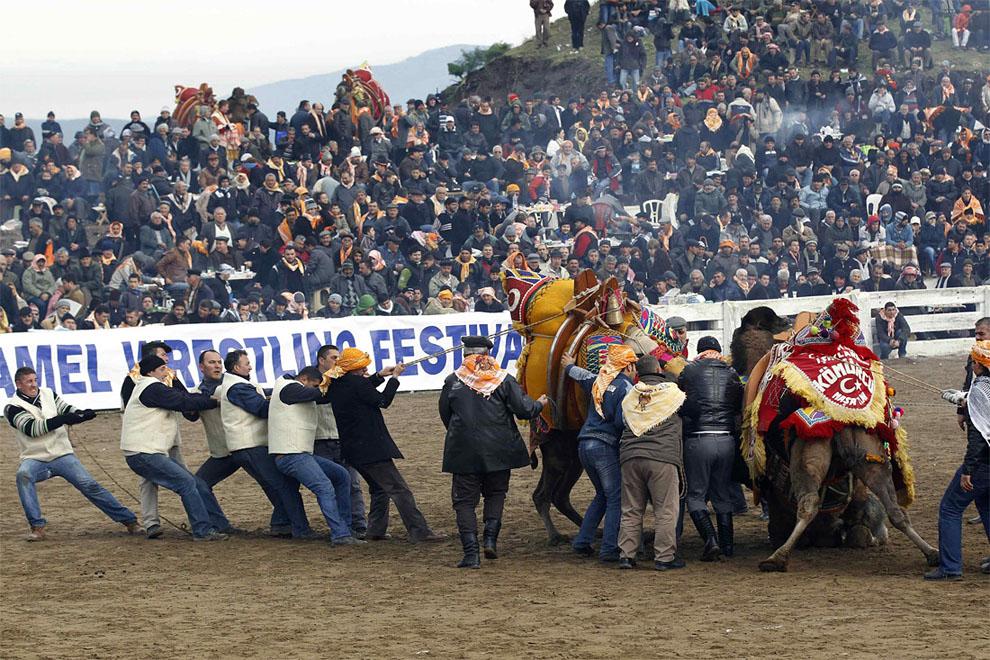 camels07 Необычное зрелище: Верблюжьи бои в Турции