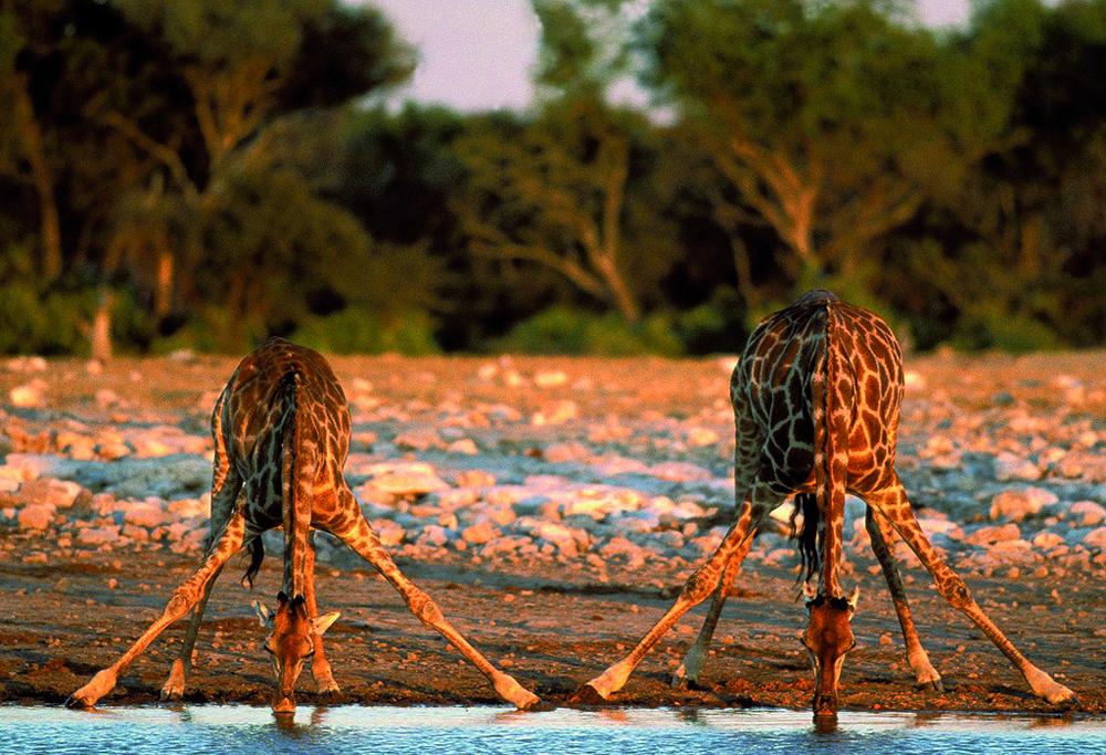 giraffe01 10 фактов о жирафах