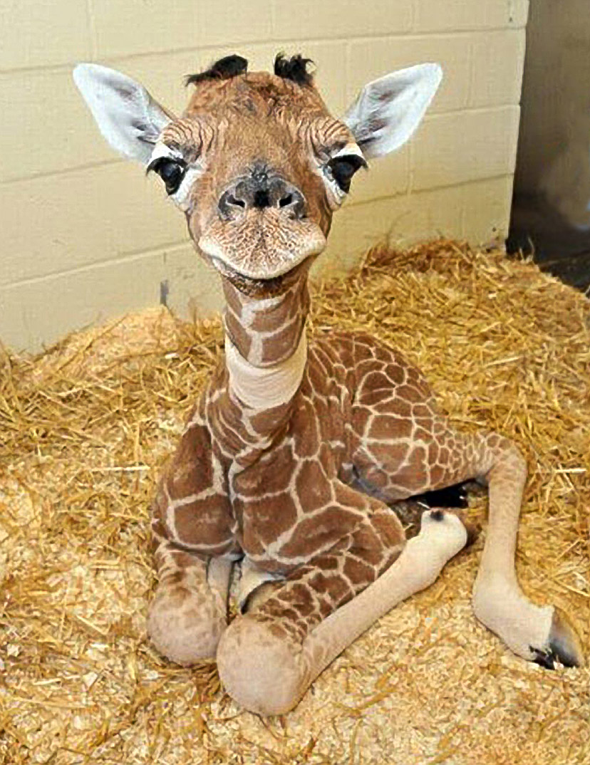 giraffe03 10 фактов о жирафах