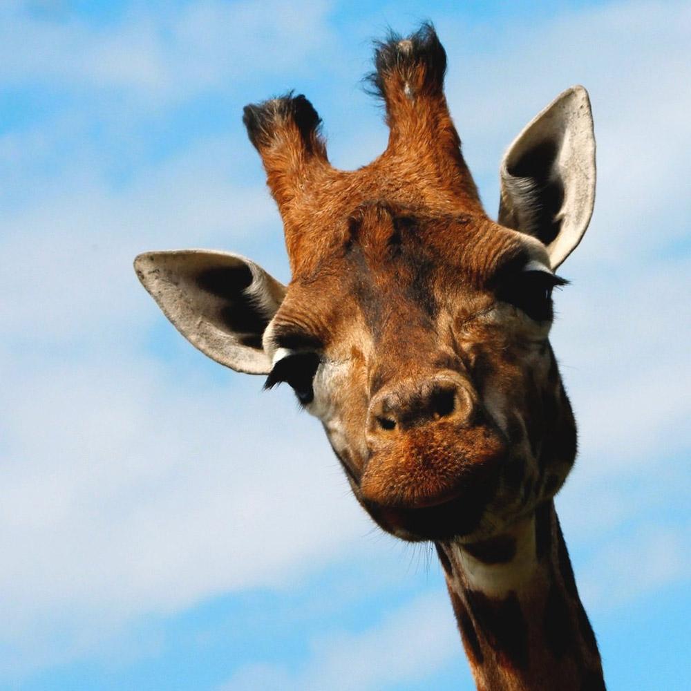 giraffe04 10 фактов о жирафах