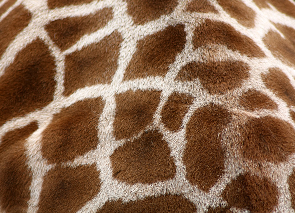 giraffe05 10 фактов о жирафах