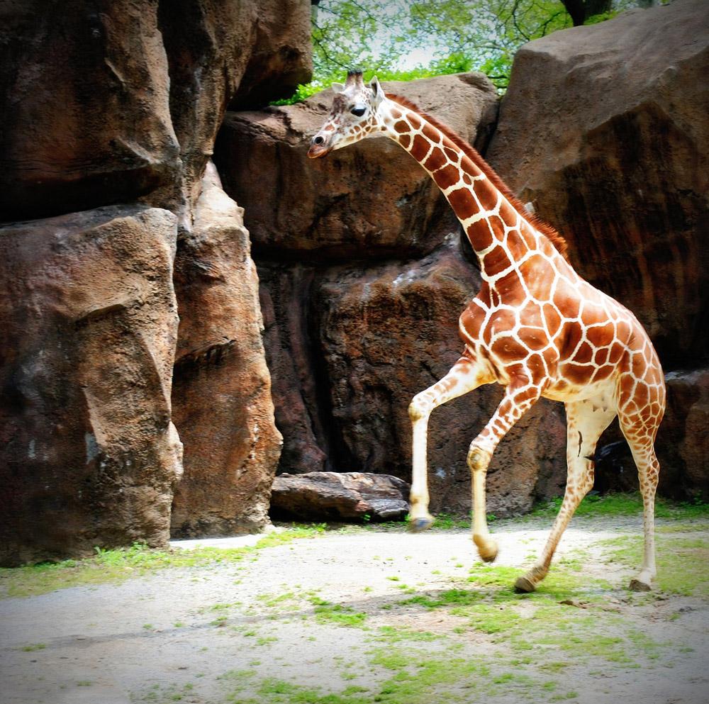 giraffe08 10 фактов о жирафах
