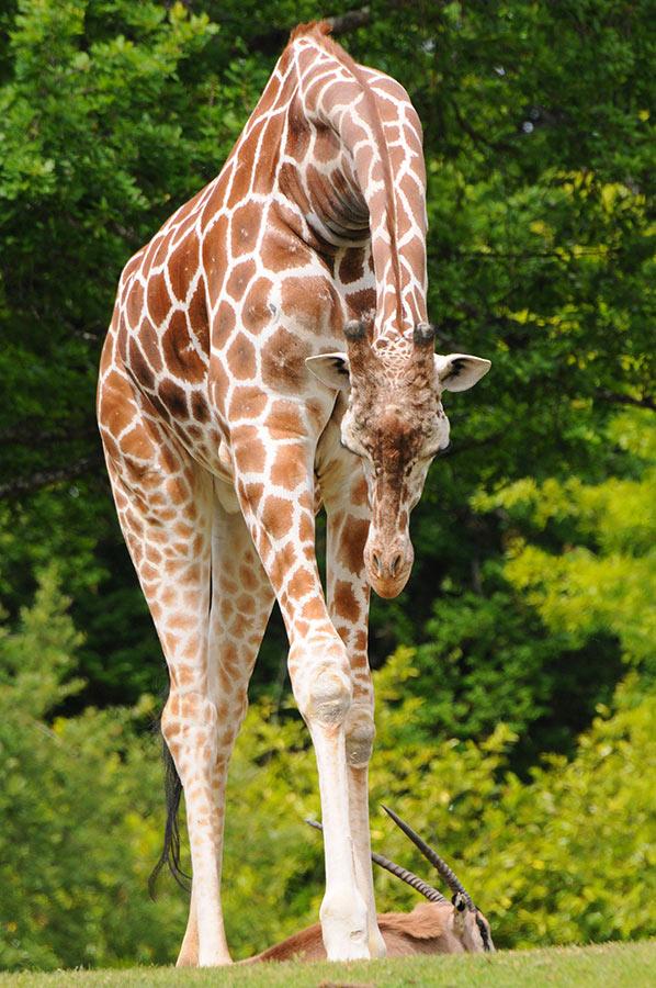 giraffe09 10 фактов о жирафах