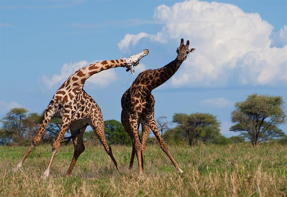 giraffe10 10 фактов о жирафах