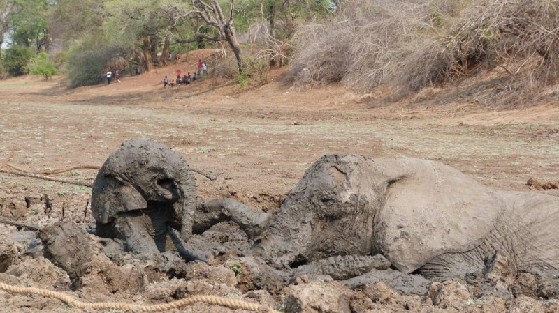 pic033 800x449 Спасение слоненка и его мамы