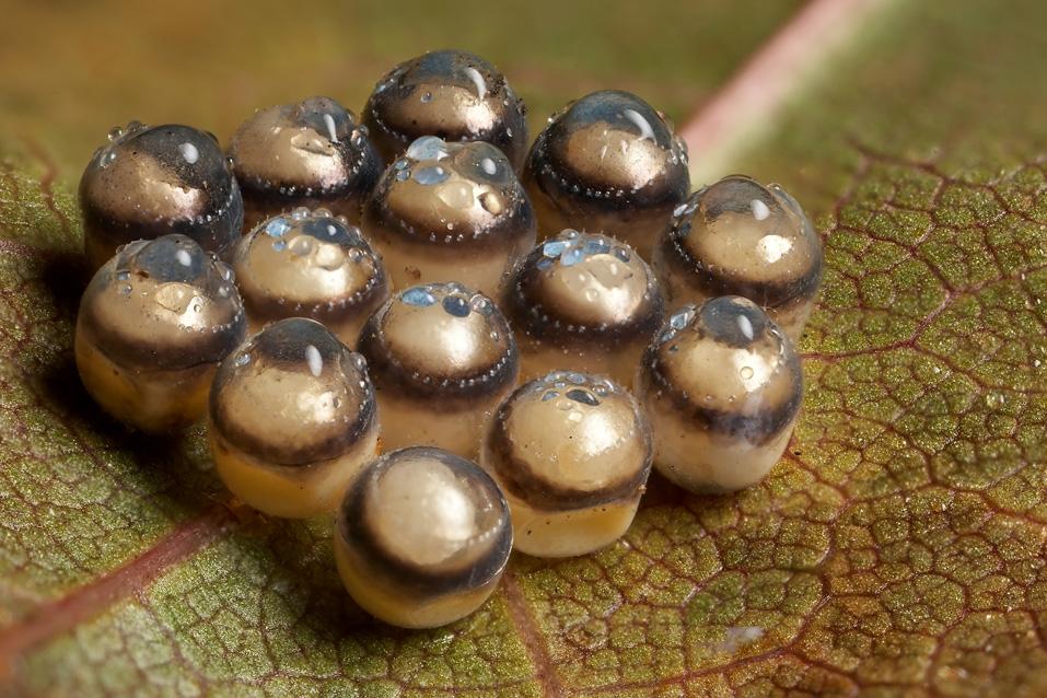 10109 Крупным планом: Яйца насекомых