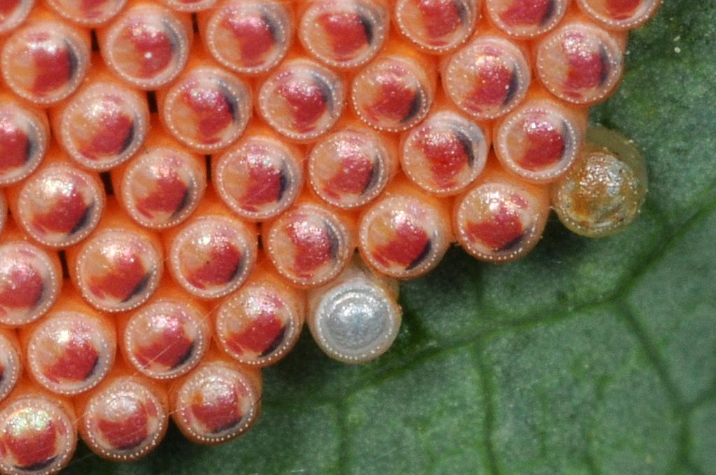 11146 Крупным планом: Яйца насекомых