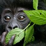 Надежда для диких горилл в Руанде