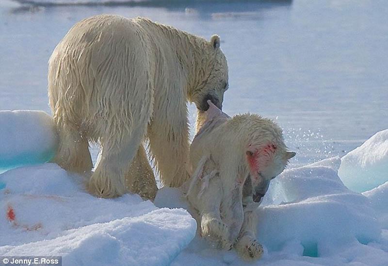 1301 Полярный медведь каннибал