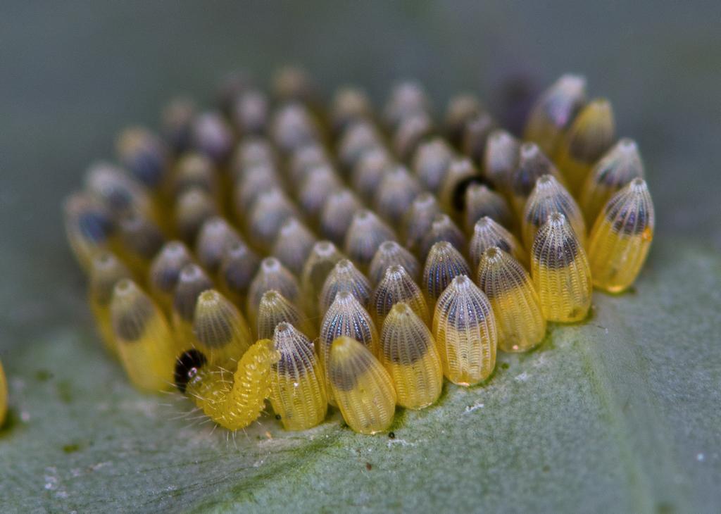 Яйца бабочки в картинках для детей