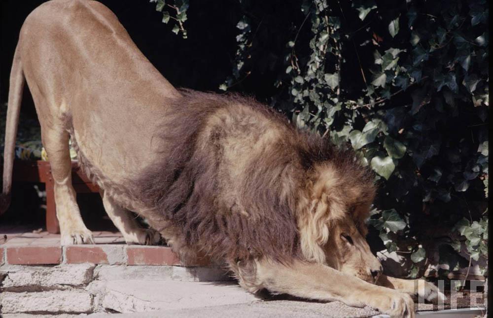 1616 Лев в качестве домашнего питомца