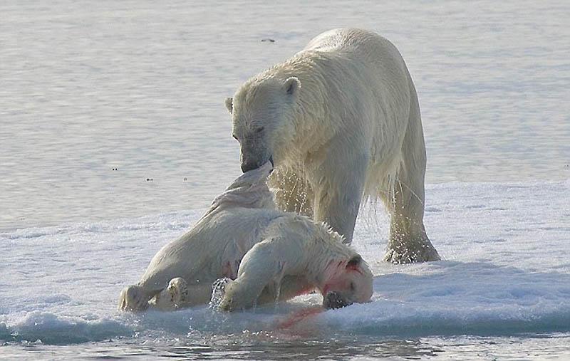 2197 Полярный медведь каннибал
