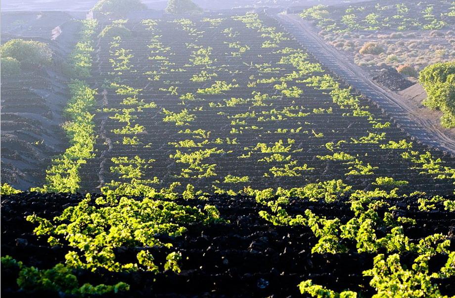 4138 Вулканические виноградники острова Лансароте