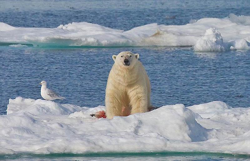4144 Полярный медведь каннибал