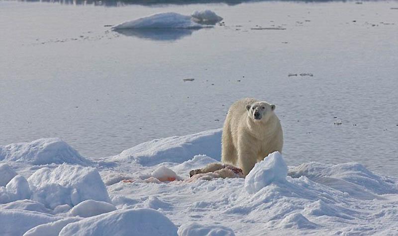 693 Полярный медведь каннибал