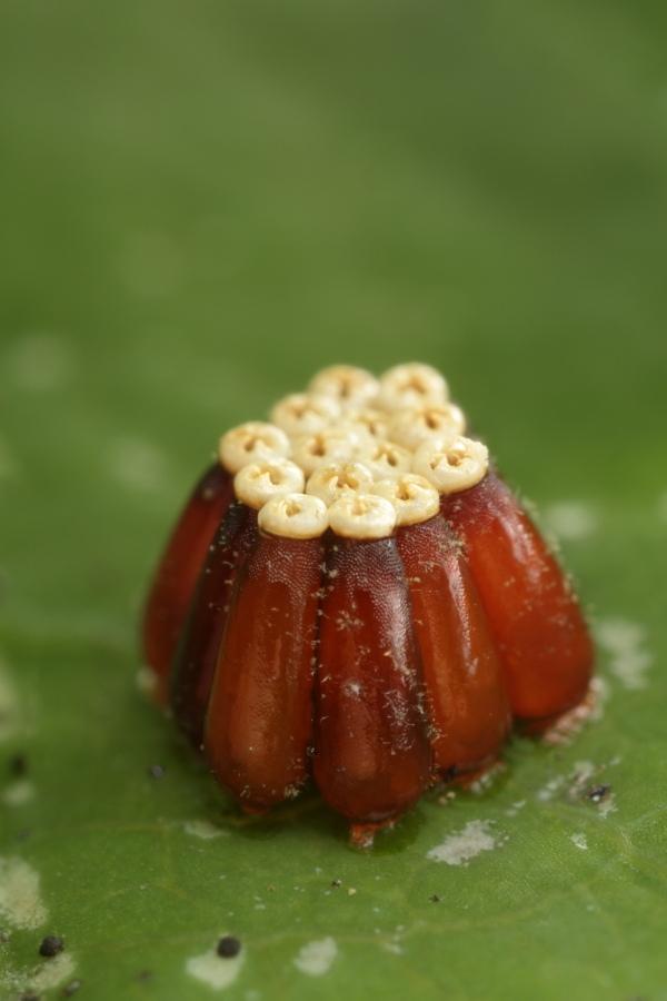 7109 Крупным планом: Яйца насекомых