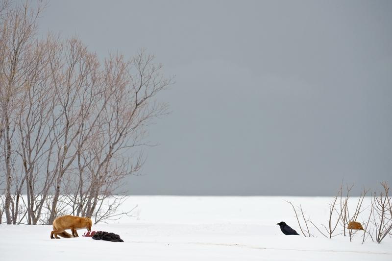 722 Лисы Камчатки. Фестиваль фотографов дикой природы Montier en Der