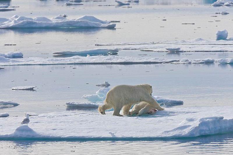 791 Полярный медведь каннибал