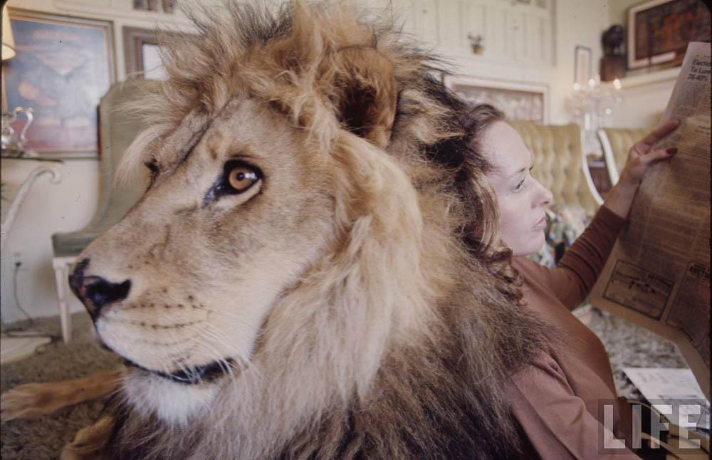 9152 Лев в качестве домашнего питомца
